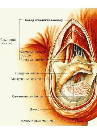 Анатомия мошонки