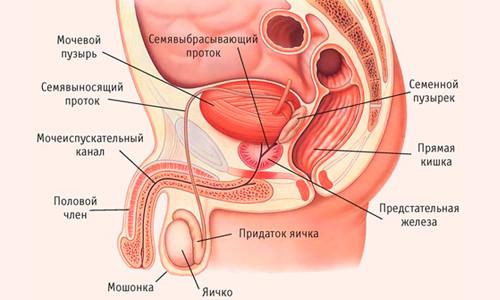 Местоположение предстательной железы