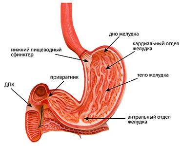 Анатомия желудка