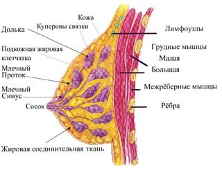 Анатомия молочной железы