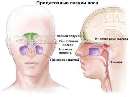 Анатомия носовых пазух