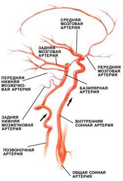 Артерии мозга и шеи
