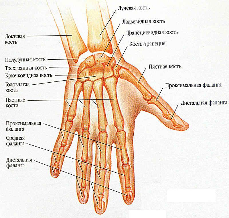 Анатомия человеческой кисти