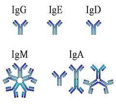 Возможные иммуноглобулины