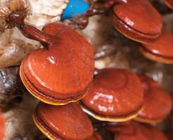 Древесный гриб Ганодерма (гриб Рейши)