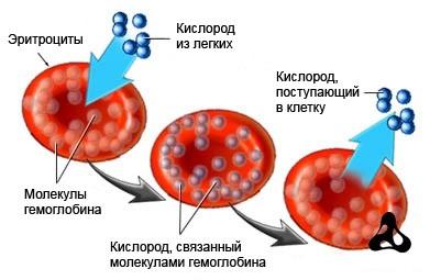 Функции эритроцитов в организме