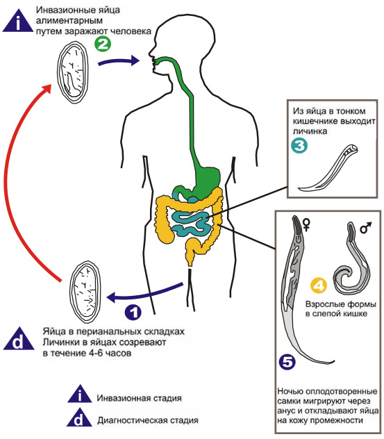 Жизненный цикл развития паразитов