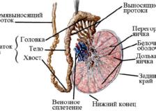 Описание процедуры биопсии яичка