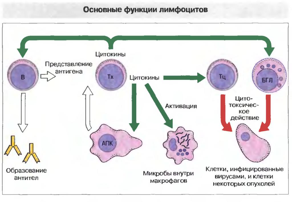 Функции белых кровяных телец