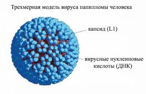 Вирус папилломы человека ВПЧ