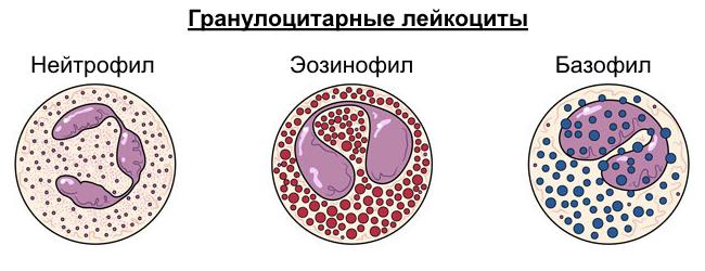 Гранулоцитарные лейкоциты