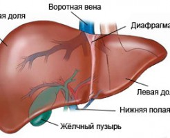 Объекты процедуры УЗИ брюшной полости
