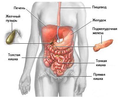 Органы брюшной полости