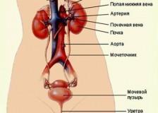 Способ точной диагностики при помощи УЗИ почек и мочевого пузыря