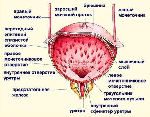 Анатомия мочевого пузыря