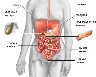 Органы в брюшной полости