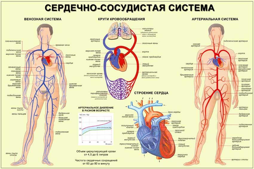 картинка кровеносной системы человека сосуды и сердце одна
