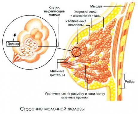 Строение грудной железы у женщин
