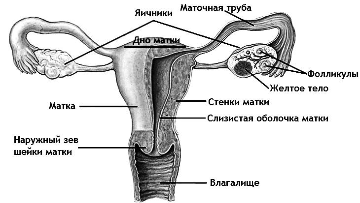 Анатомия матки картинки
