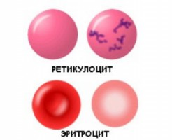 Международная аббревиатура для обозначения ретикулоцитов в анализе крови