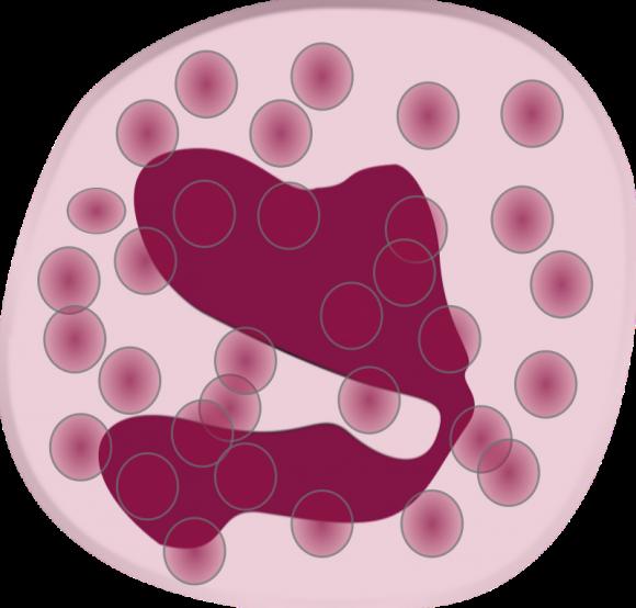 Деформированное ядро лимфоцита