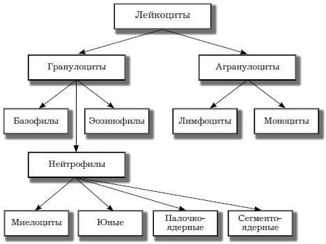 Виды лейкоцитов фото