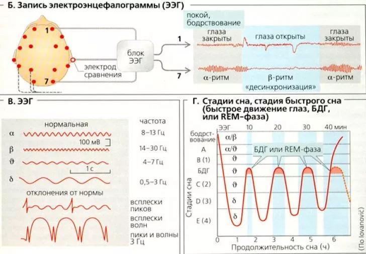тета ритм энцефалограммы показывает значение частоты фото